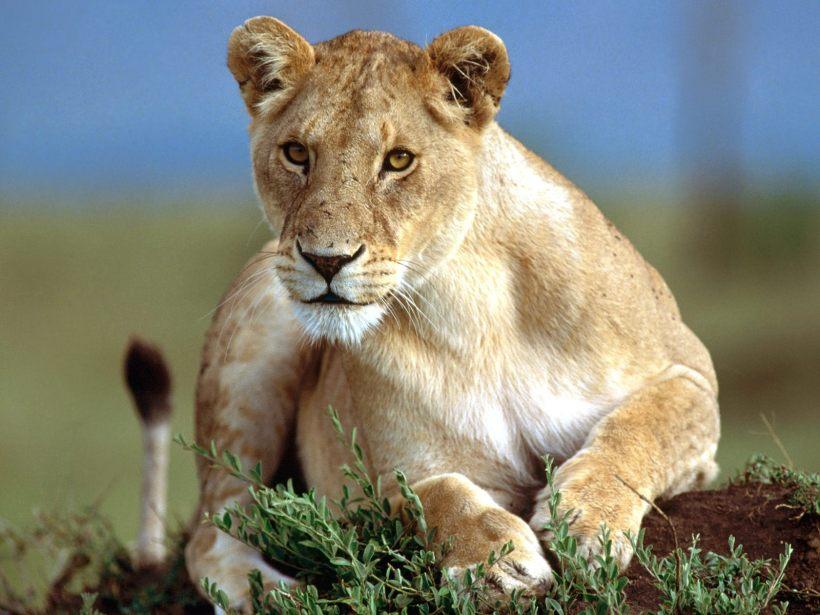 Lioness-17